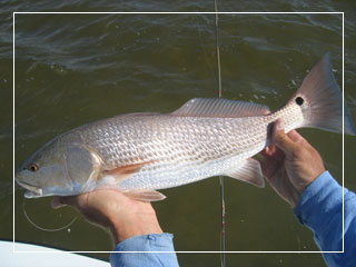 Redfish are common in the Upper Florida Keys and Everglades